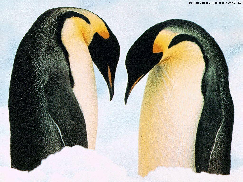 имераторские пингвины, скачать фото, обои