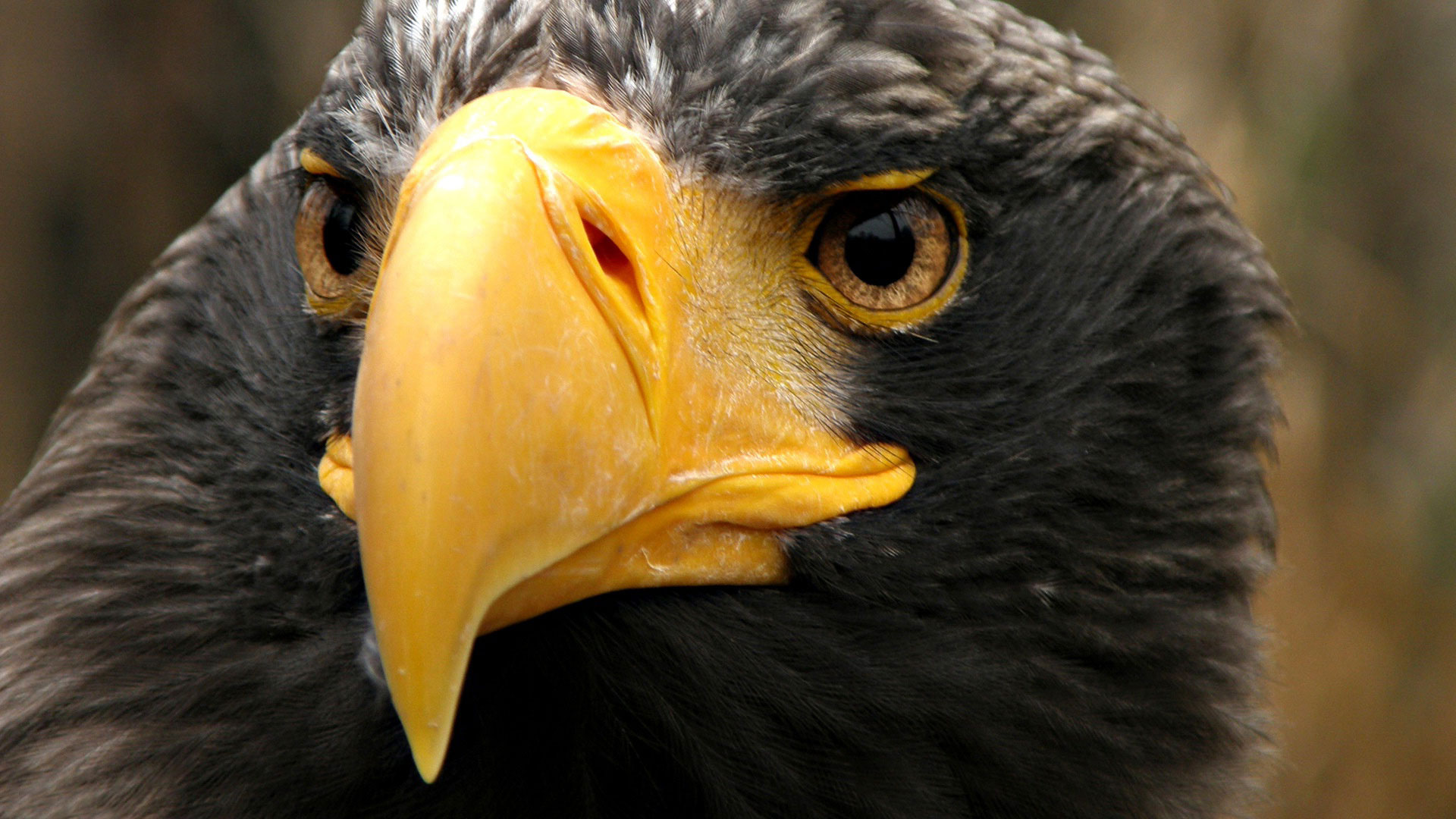 черный орел, обои на рабочий стол, black eagle, wallpaper
