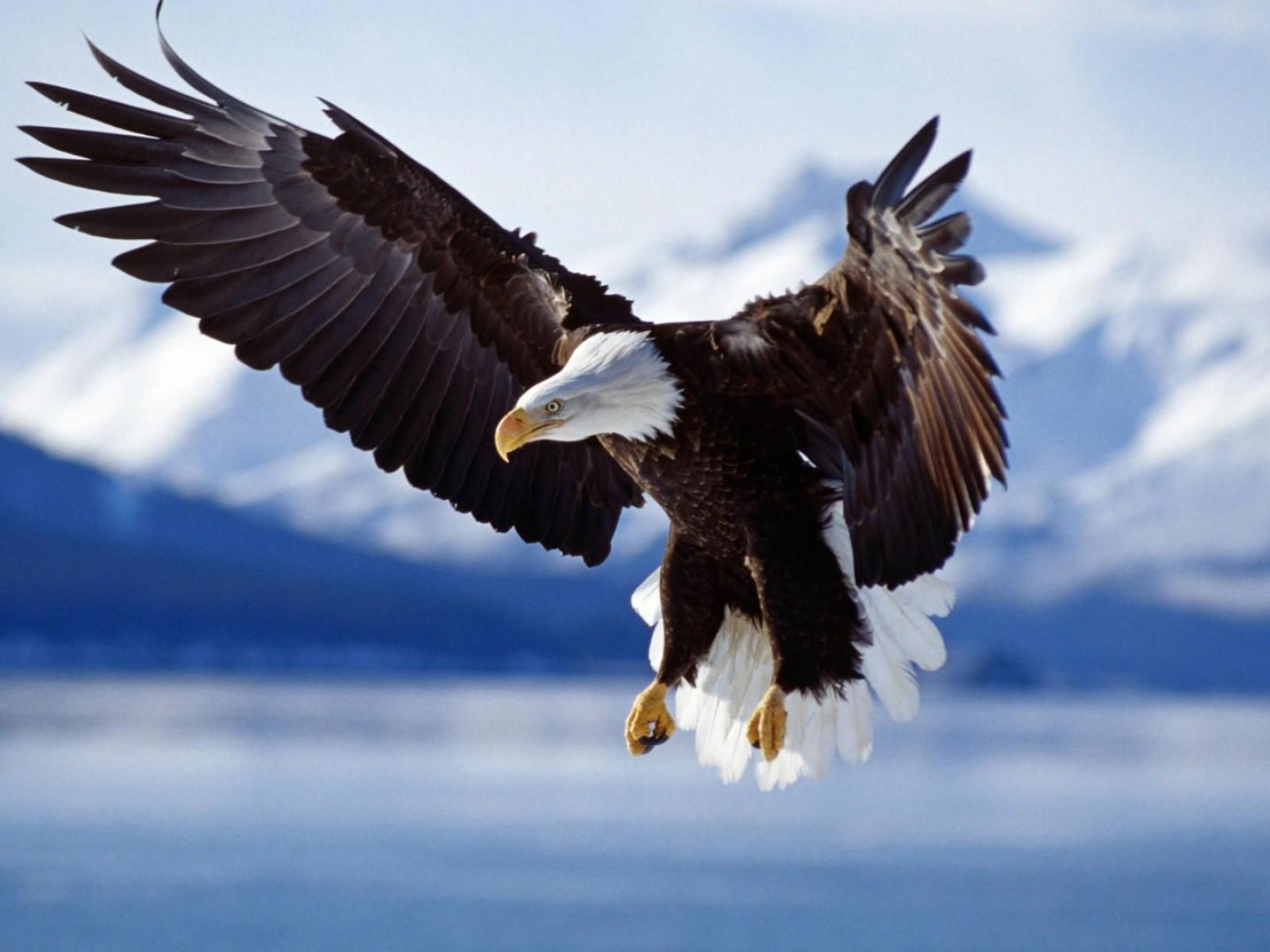 Орел, летит, крылья, фото, обои для рабочего стола