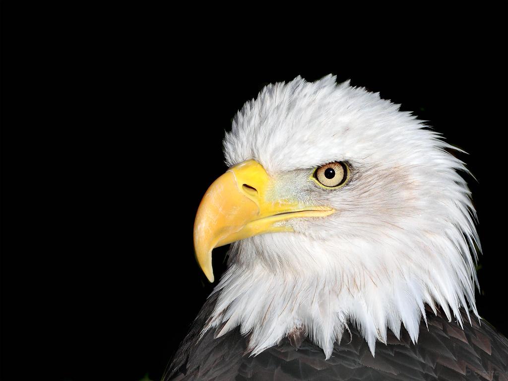 голова орла, фото, обои для рабочего стола, скачать бесплатно