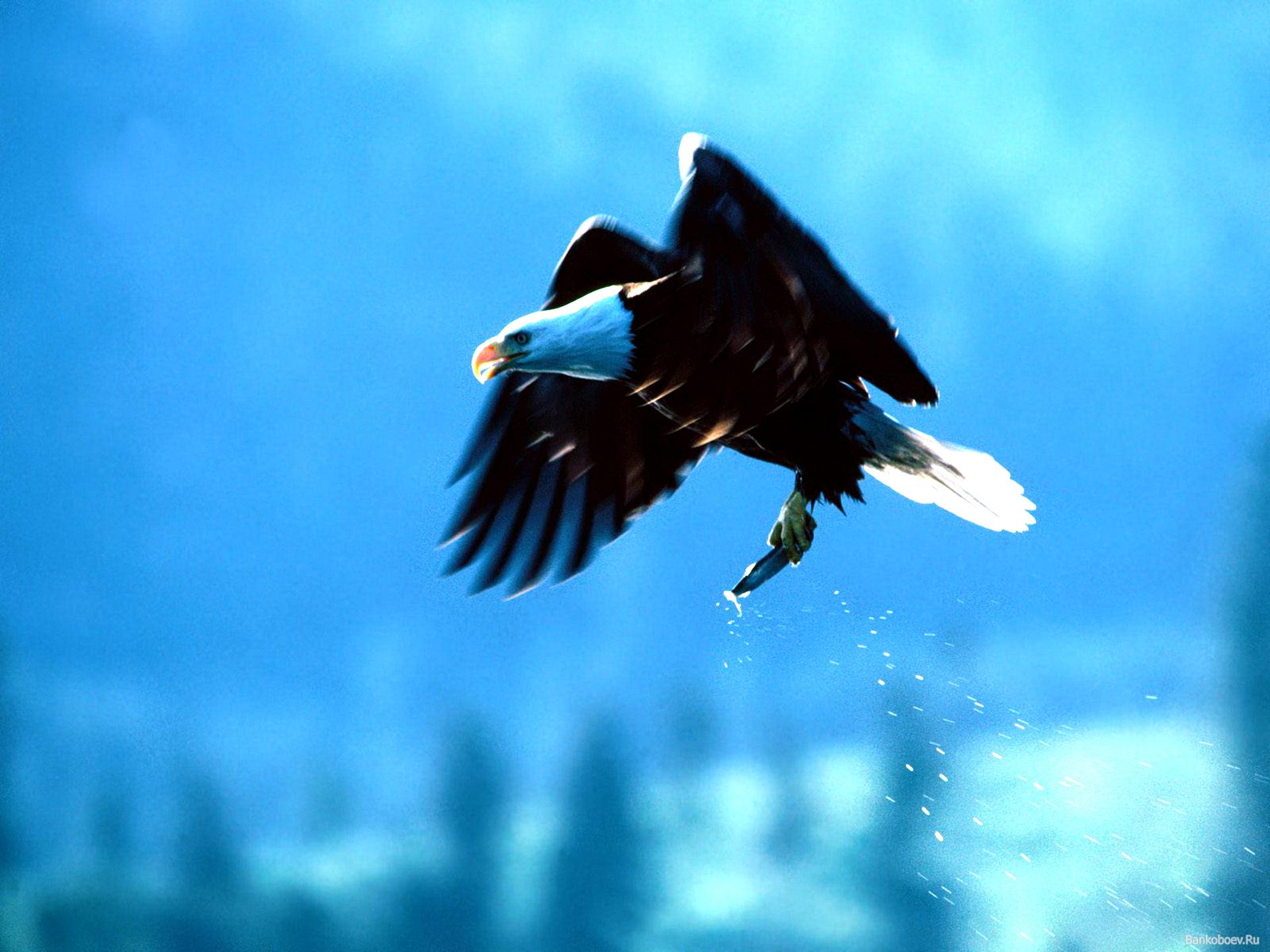 орел летит с рыбой в лапах, скачать фото, обои для рабочего стола