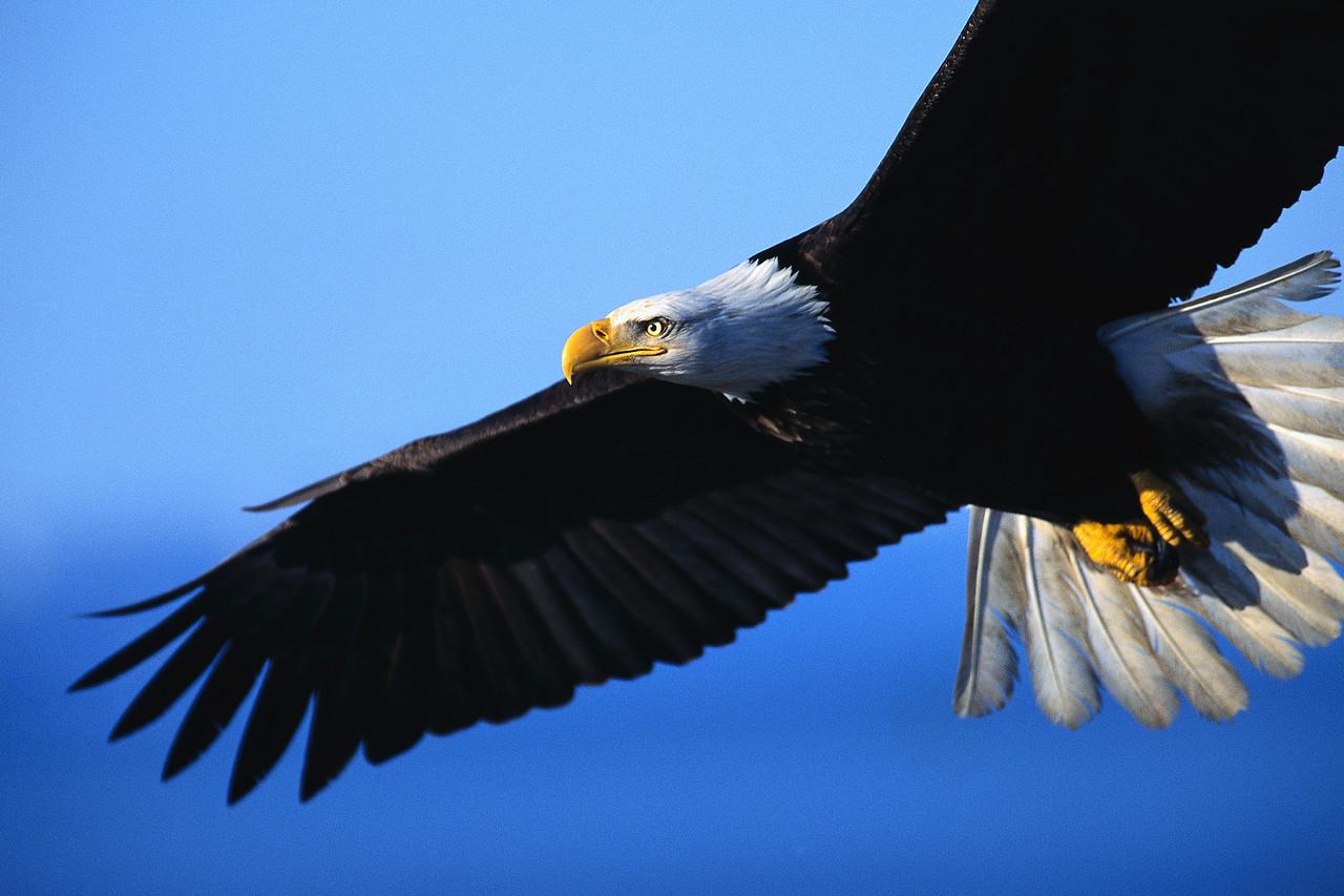 орел в небе, скачать фото, обои на рабочий стол, крылья