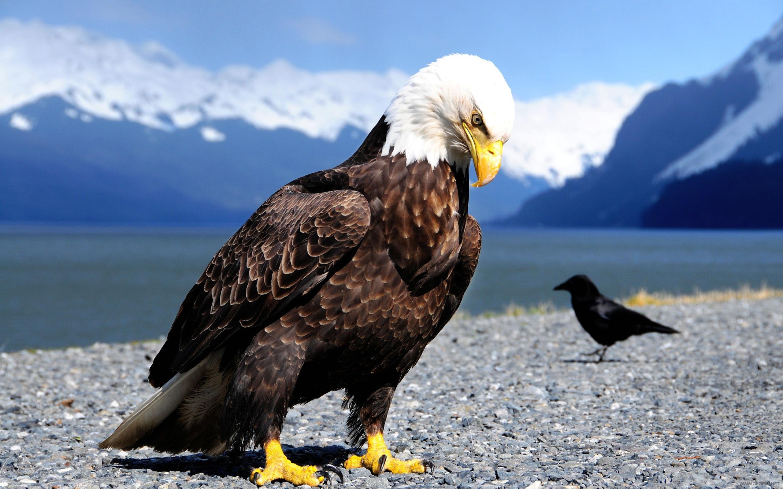 орел сидит на земле, фото, обои для рабочего стола