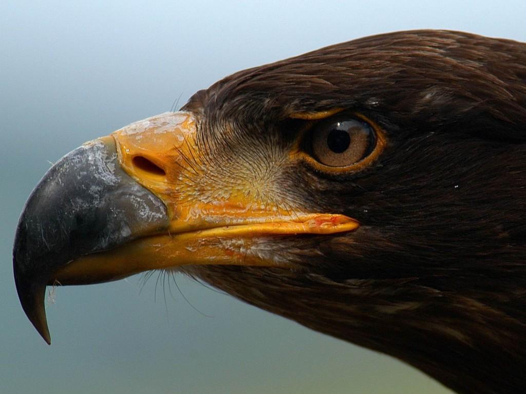 клюв и голова орла, хищник, скачать фото, обои для рабочего стола