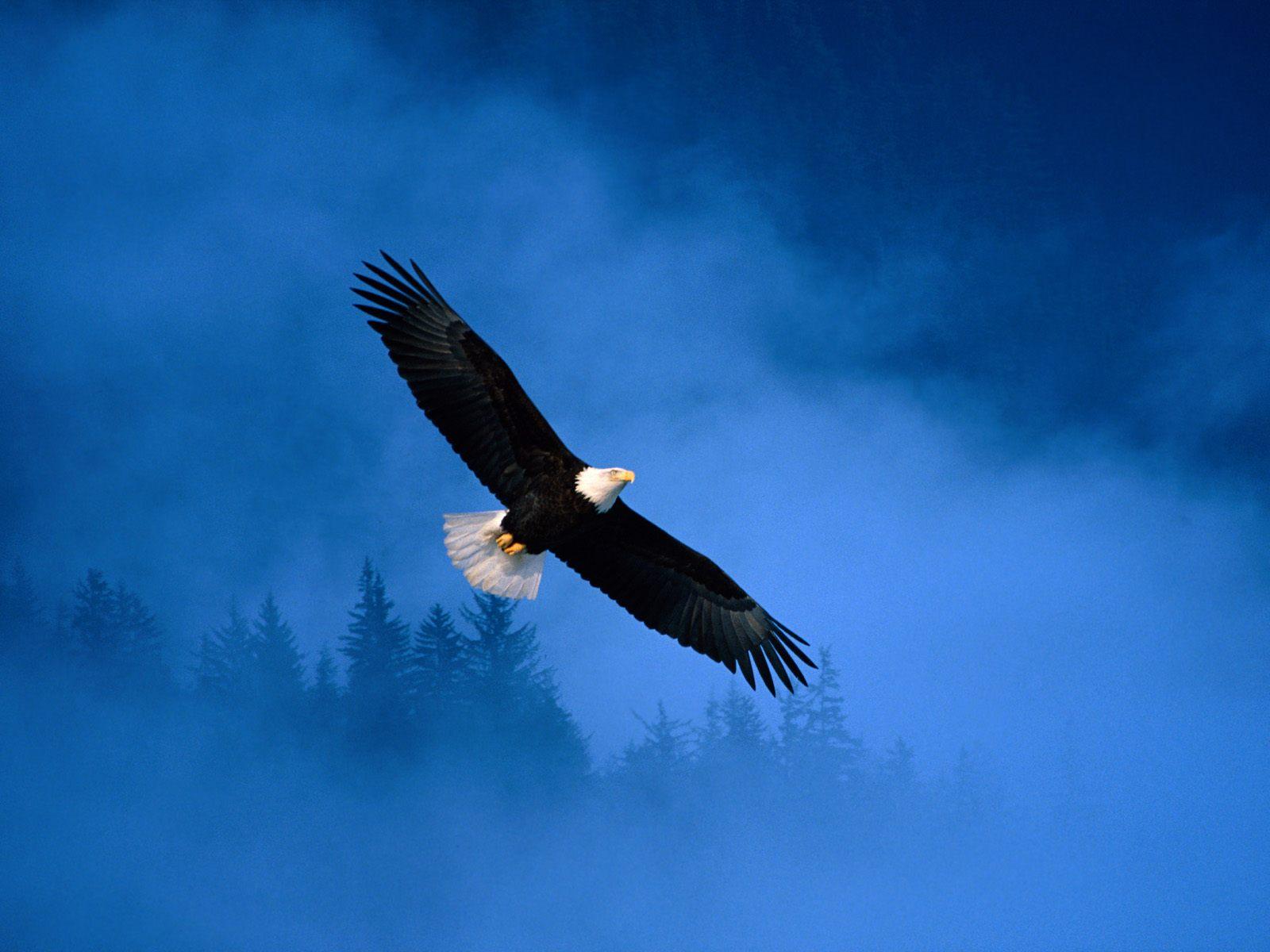 орел, летит в небе, фото, обои на рабочий стол