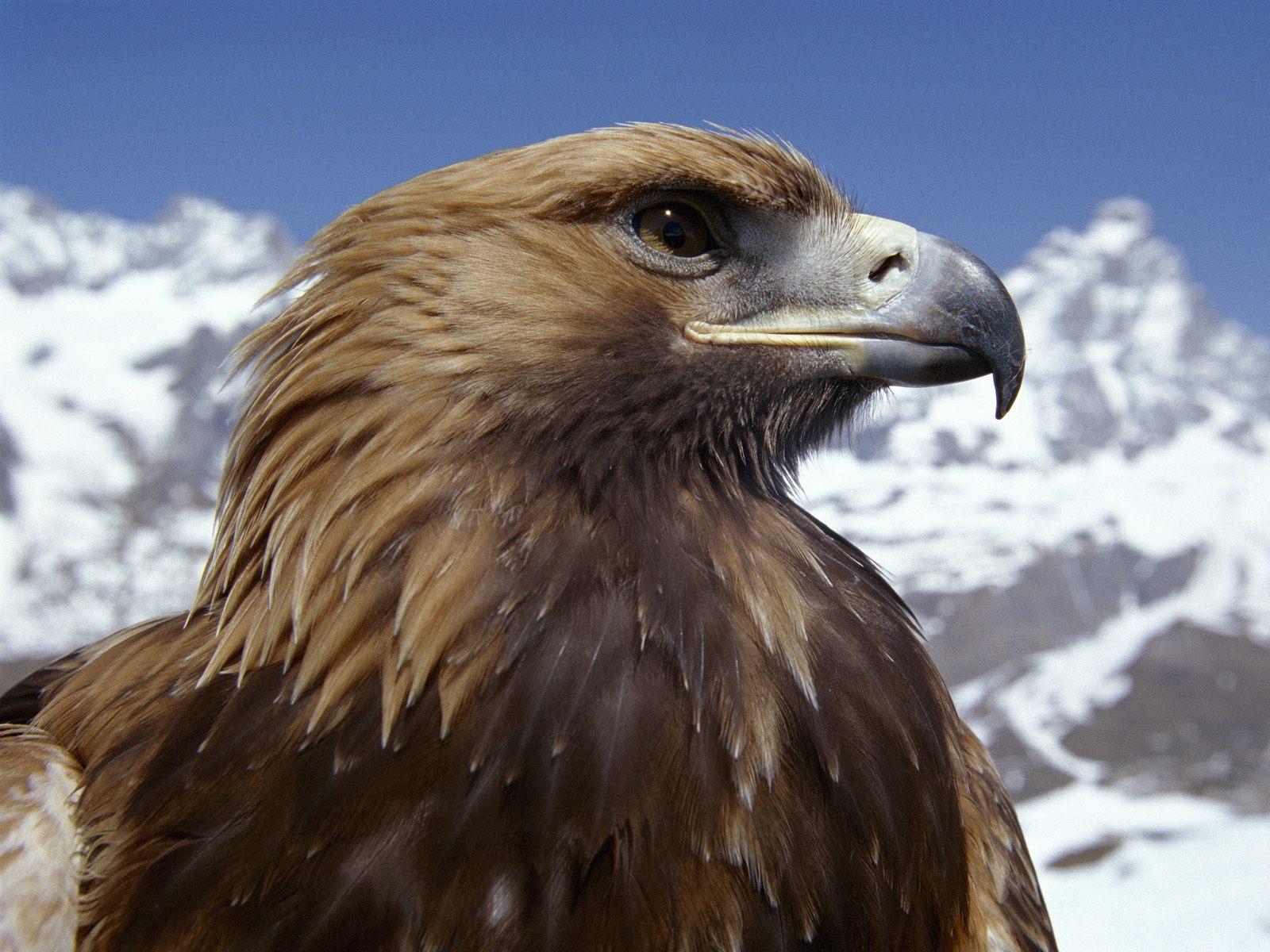 Беркут, фото, горы, обои для рабочего стола, eagle wallpaper