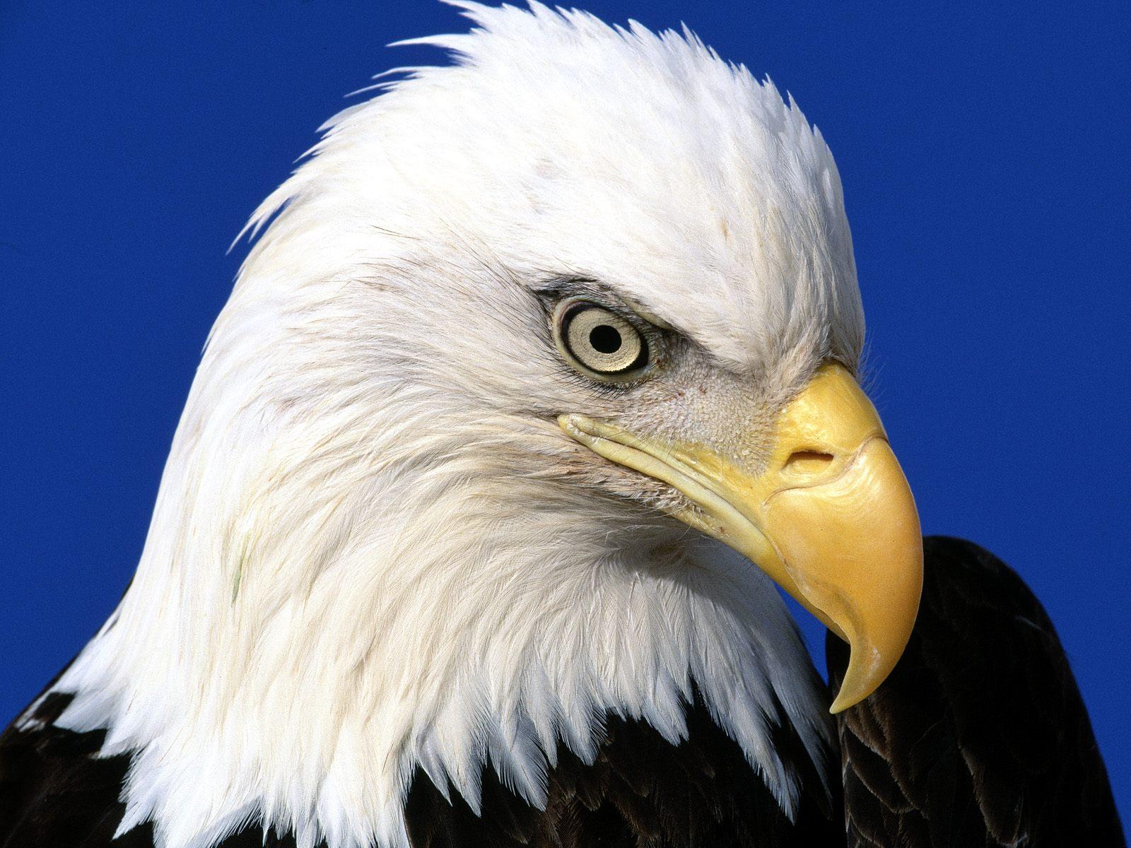 Хищный орел, фото, голова, клюв, скачать