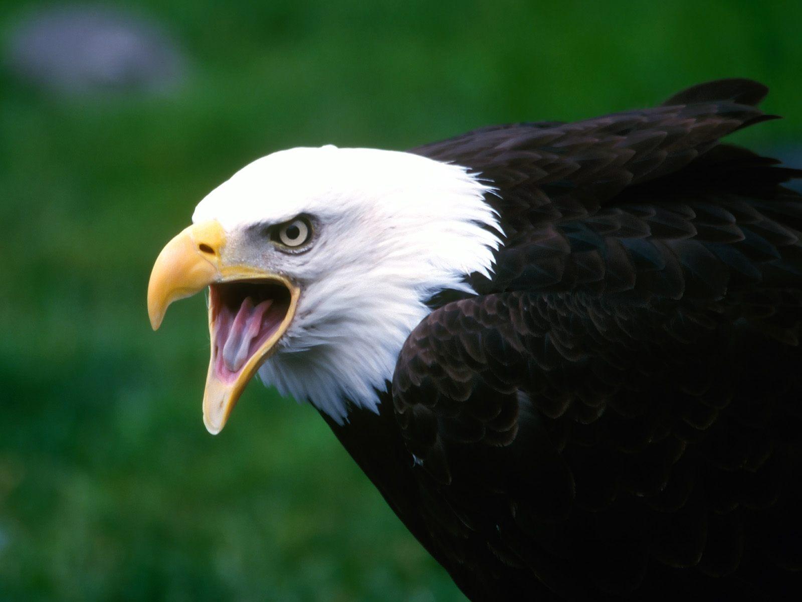 Белоголовый орел, хищная птица, скачать фото, обои на рабочий стол