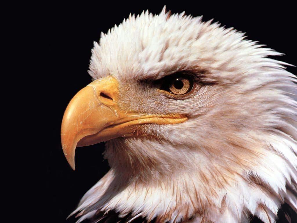 Орел, фото, обои для рабочего стола, eagle