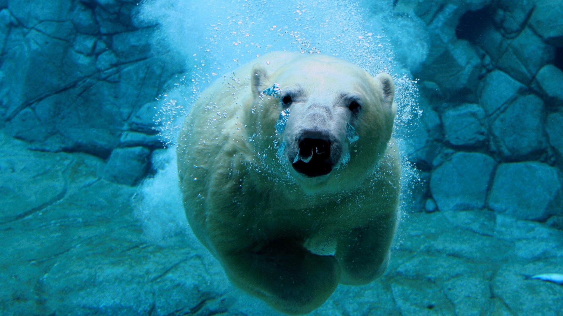 Белый медведь под водой, красивое фото, обои для рабочего стола