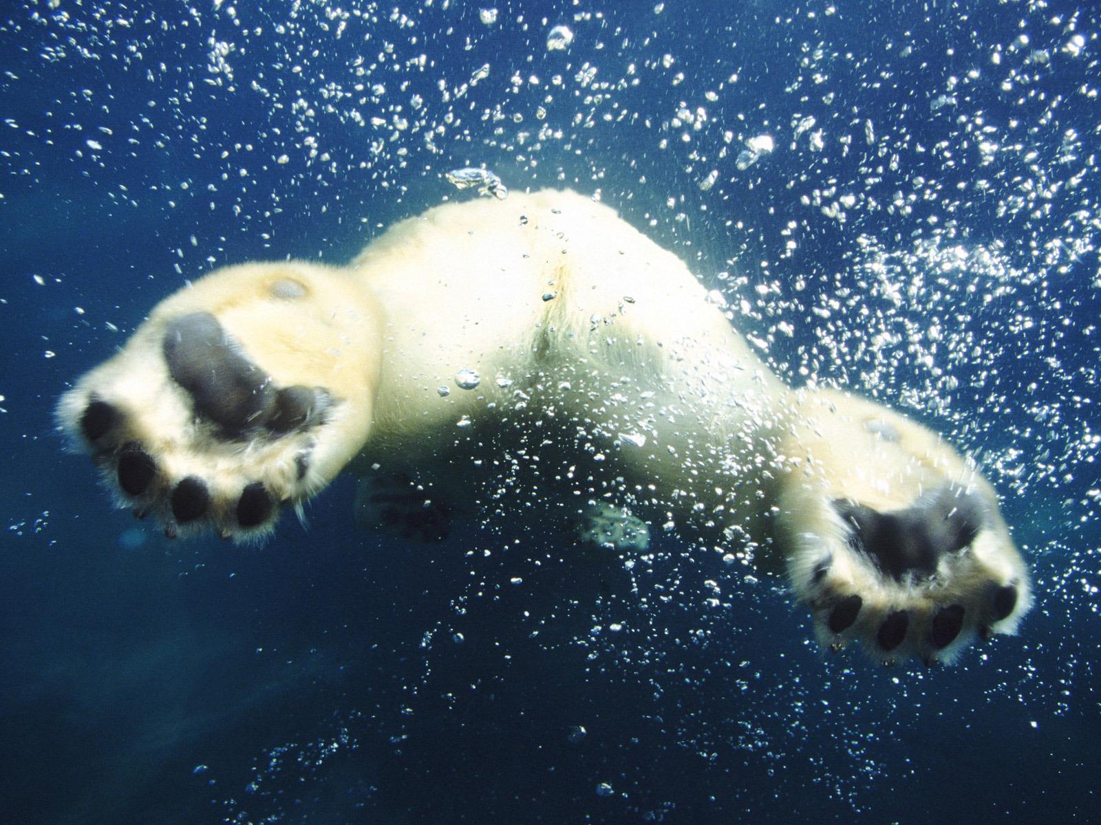 Белый медведь под водой, попа, плывет, обои для рабочего стола