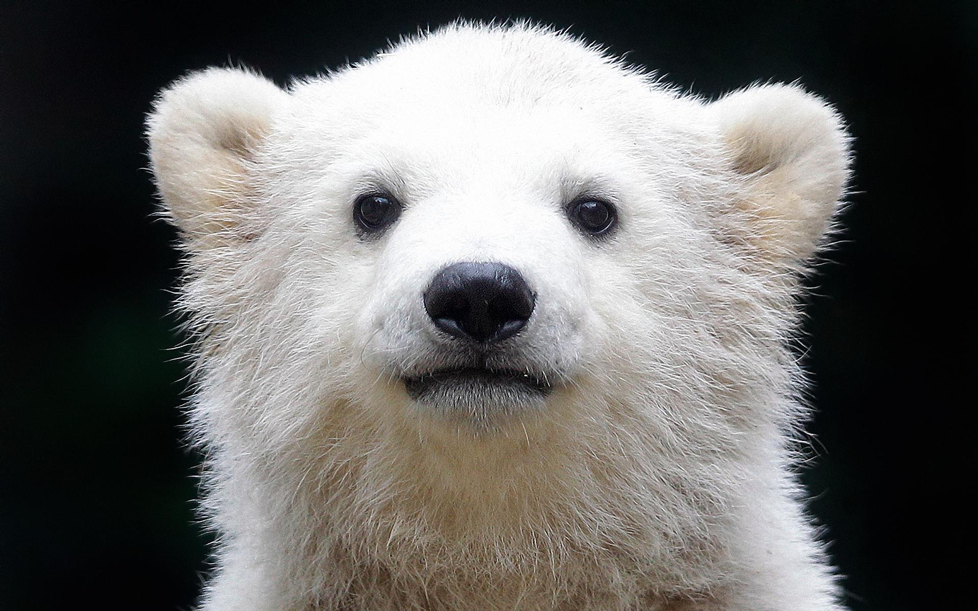 прикольный белый медвежонок, white bear, скачать фото, обои для рабочего стола