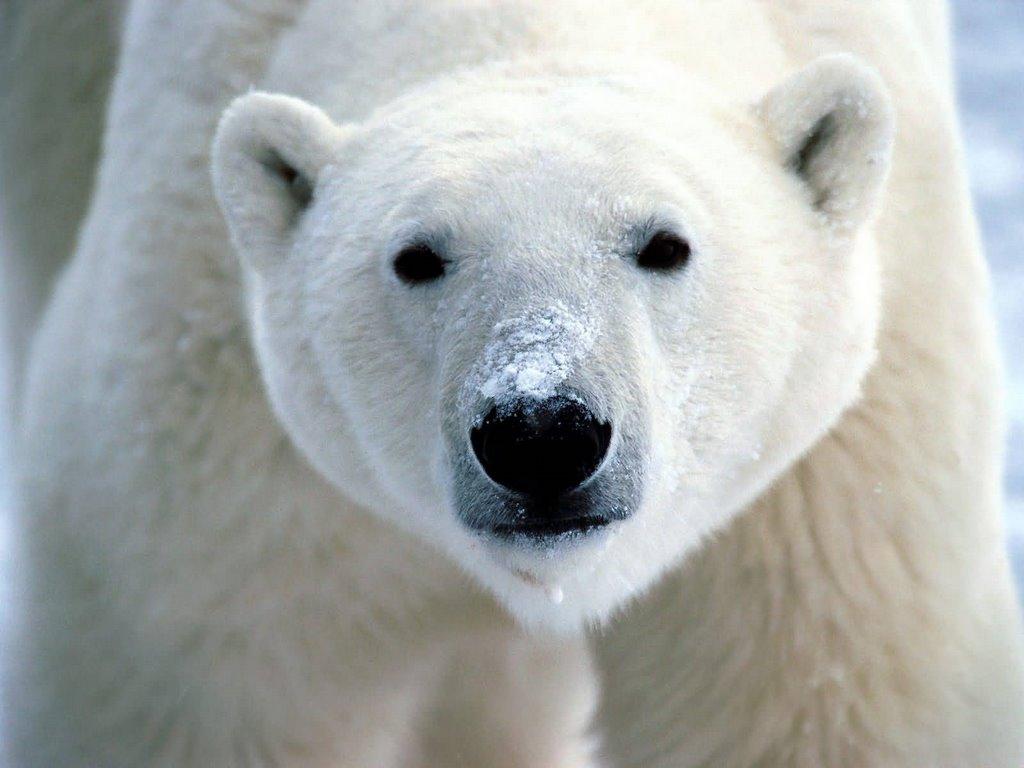 Большой белый медведь, фото, обои на рабочий стол