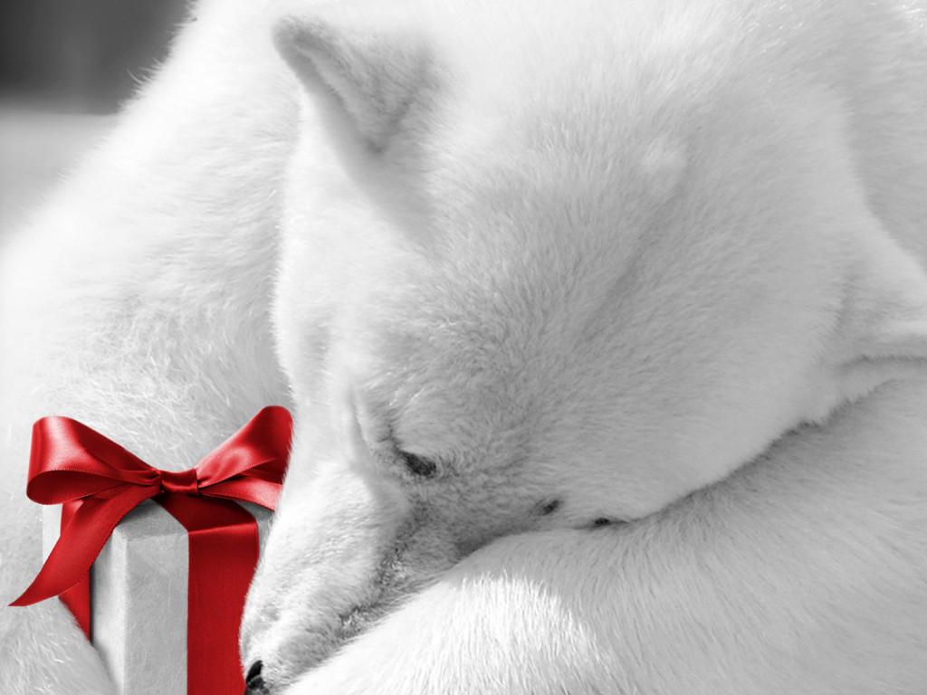 Белый медведь с подарком, скачать фото, обои для рабочего стола