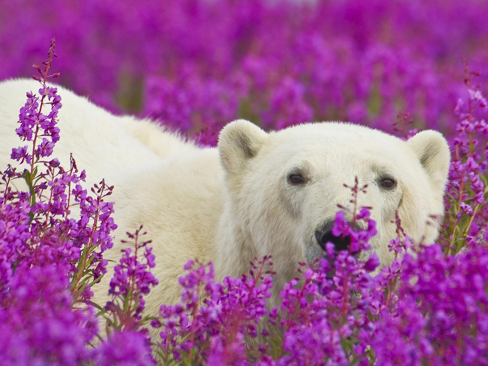 Обои на рабочий стол белый медведь на