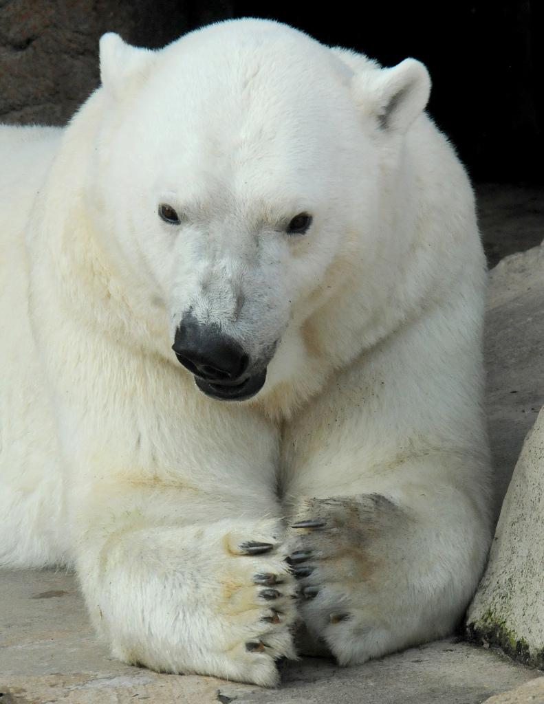 Белый медведь, фото, white bear, wallpaper, скачать фото