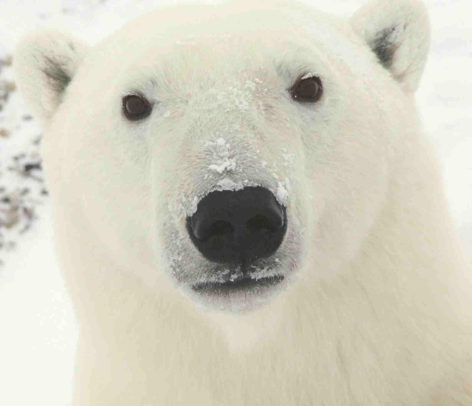 Белый медведь, обои на рабочий стол, white polar bear, wallpaper