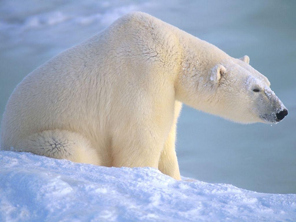 Белый медведь на снегу, скачать фото, обои на рабочий стол