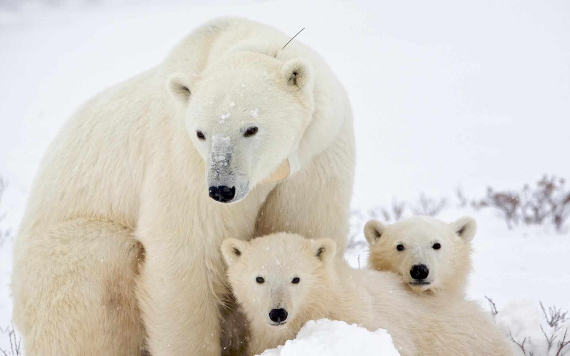 Белая медведица и медвежата, скачать фото, обои для рабочего стола
