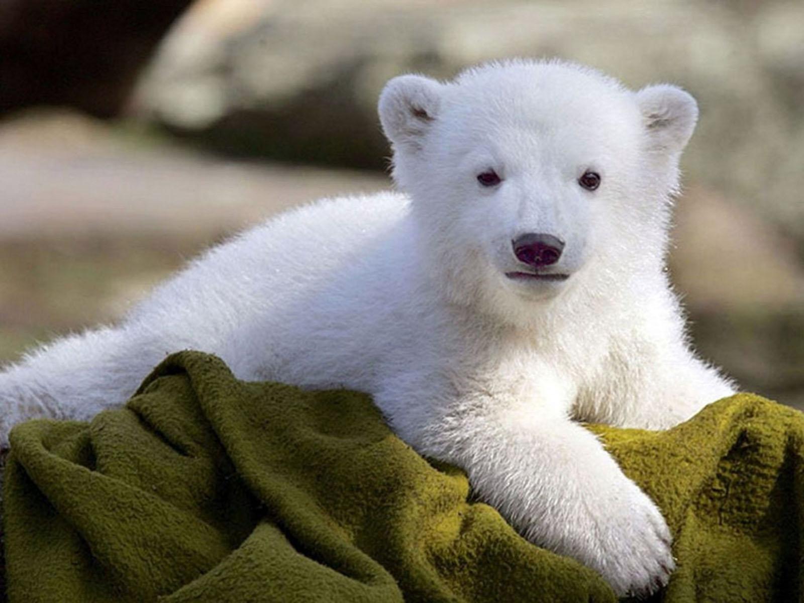 красивый милый белый медвежонок, white bear wallpaper