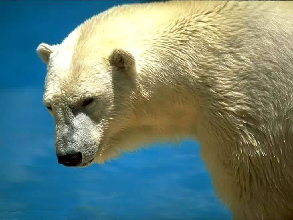 Белый медведь, фото, обои на рабочий стол, скачать фото, white bear