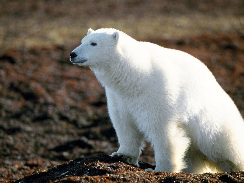 white bear on the ground, wallpaper, белый полярный медведь, фото, обои для рабочего стола