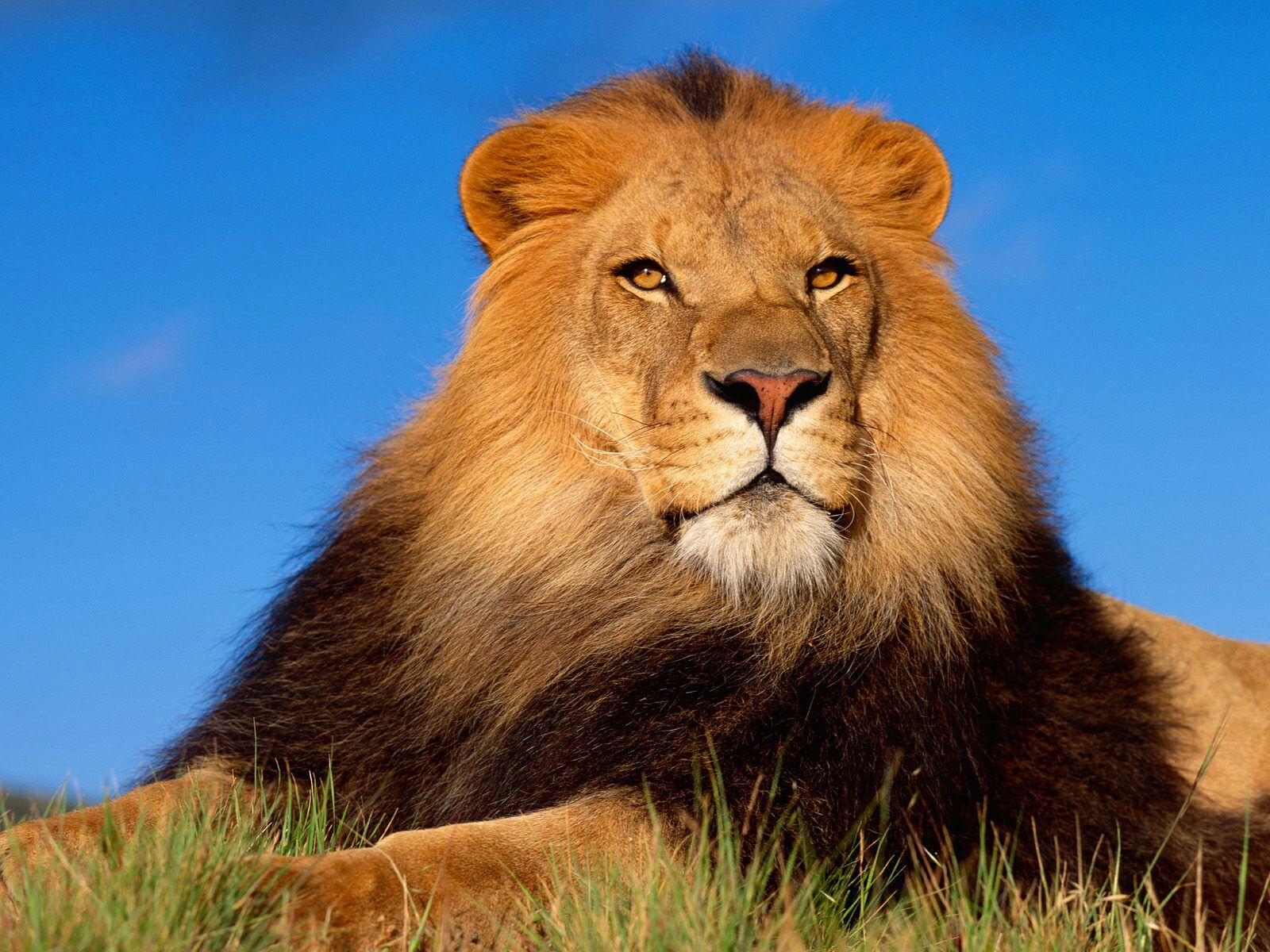большой лев на фоне синего неба, скачать фото, обои на рабочий стол