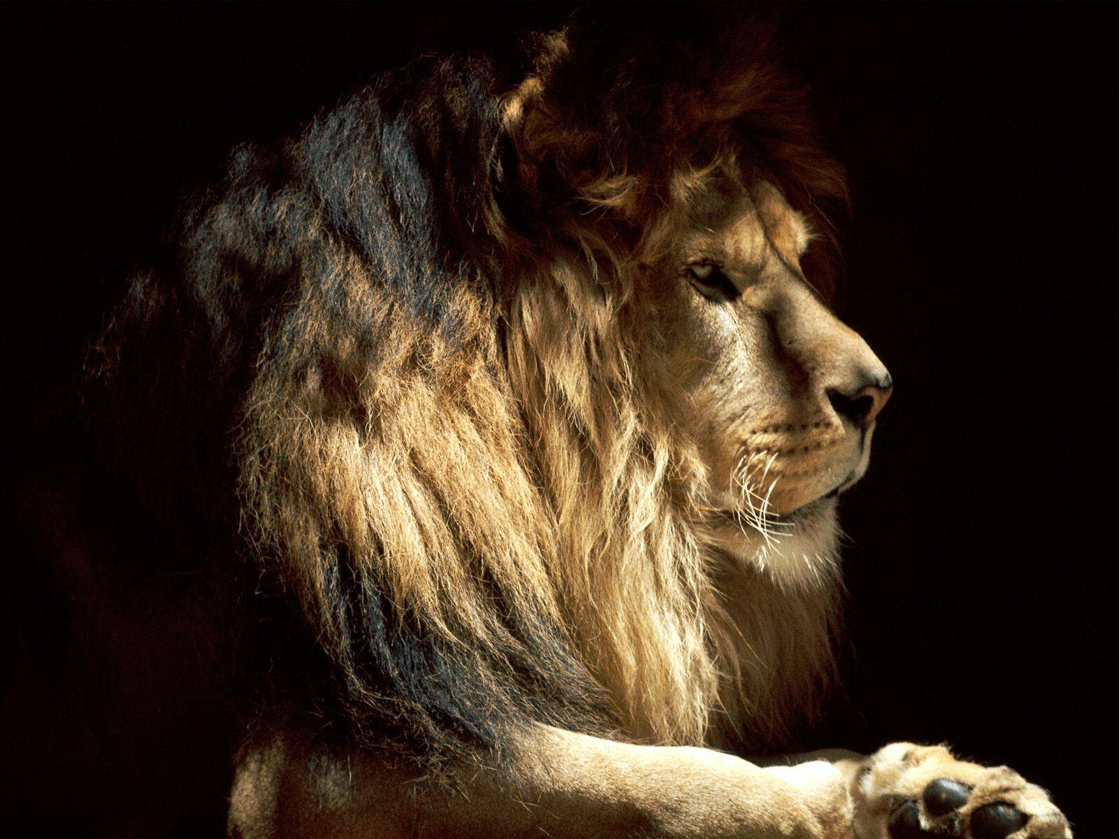 красивое фото льва, lion wallpaper, скачать фото