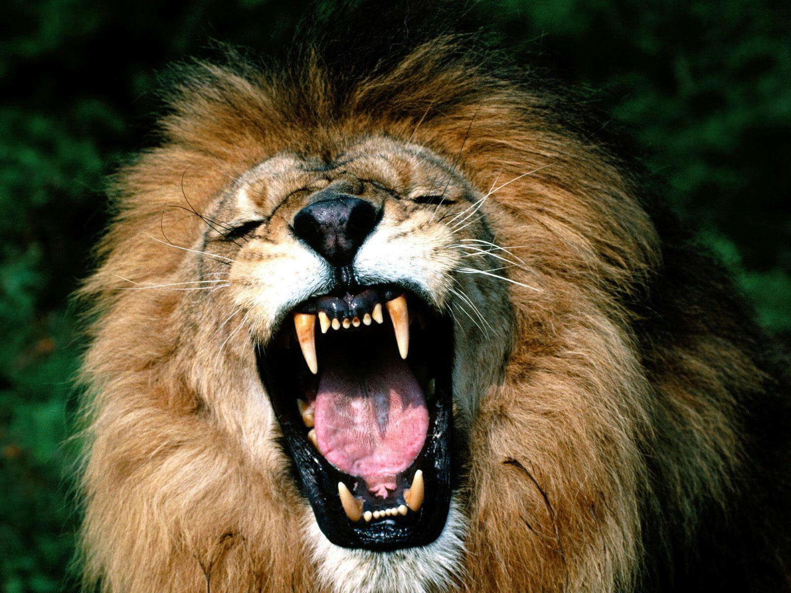 оскал льва, фото, обои на рабочий стол, скачать