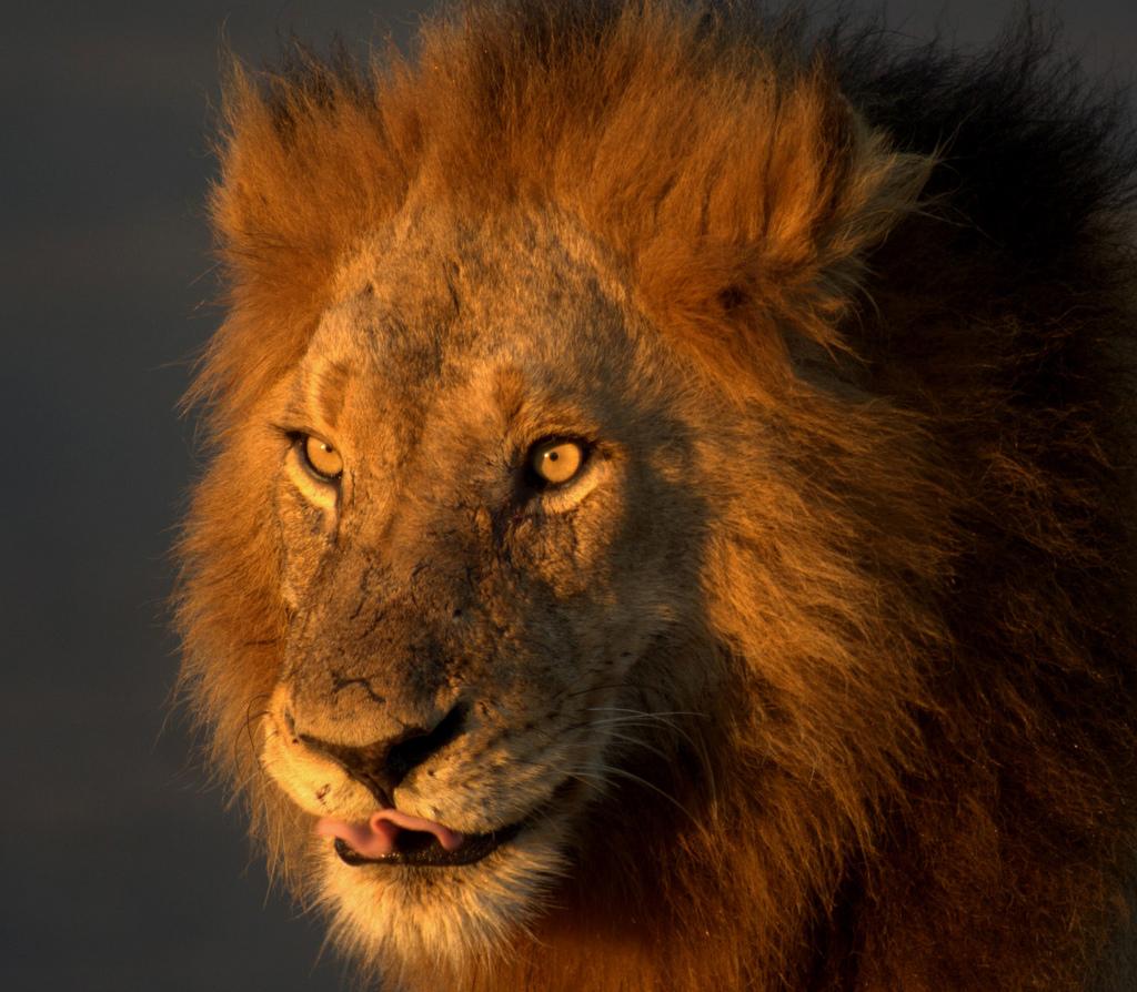 царь зверей, фото льва, лев, скачать фото, обои на рабочий стол