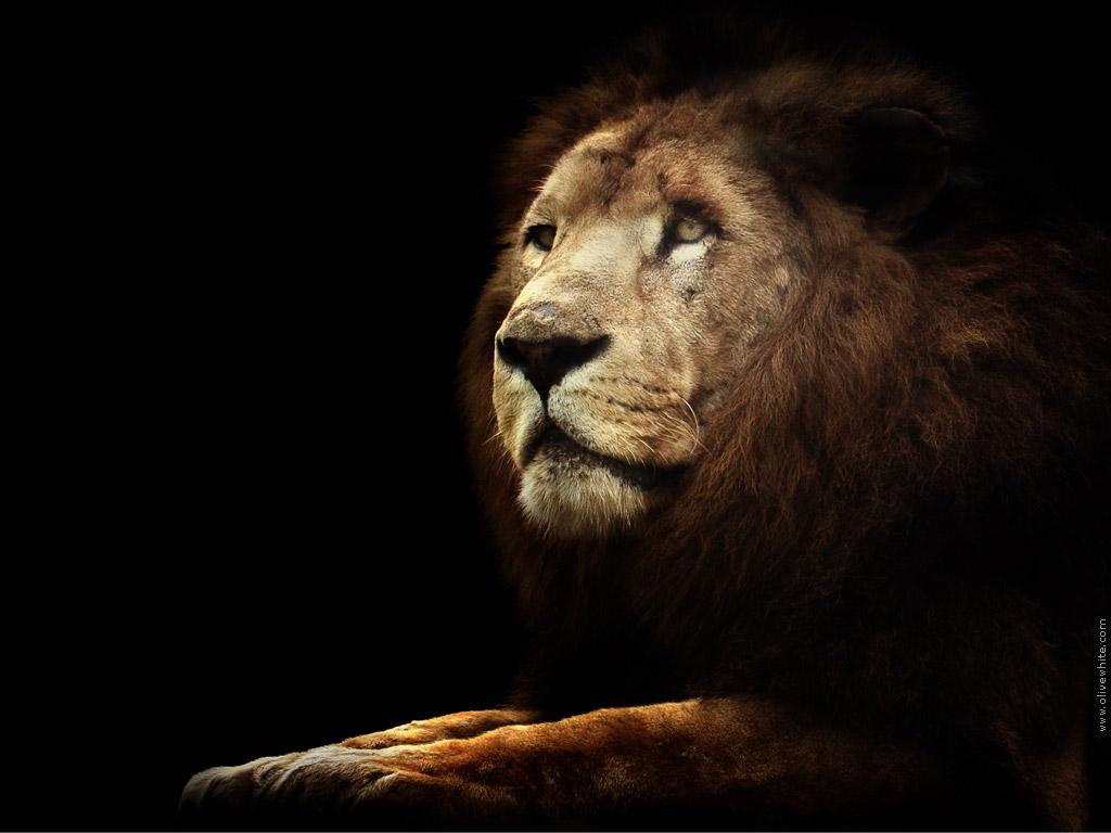 красивое фото льва, скачать фото, обои для рабочего стола, lion