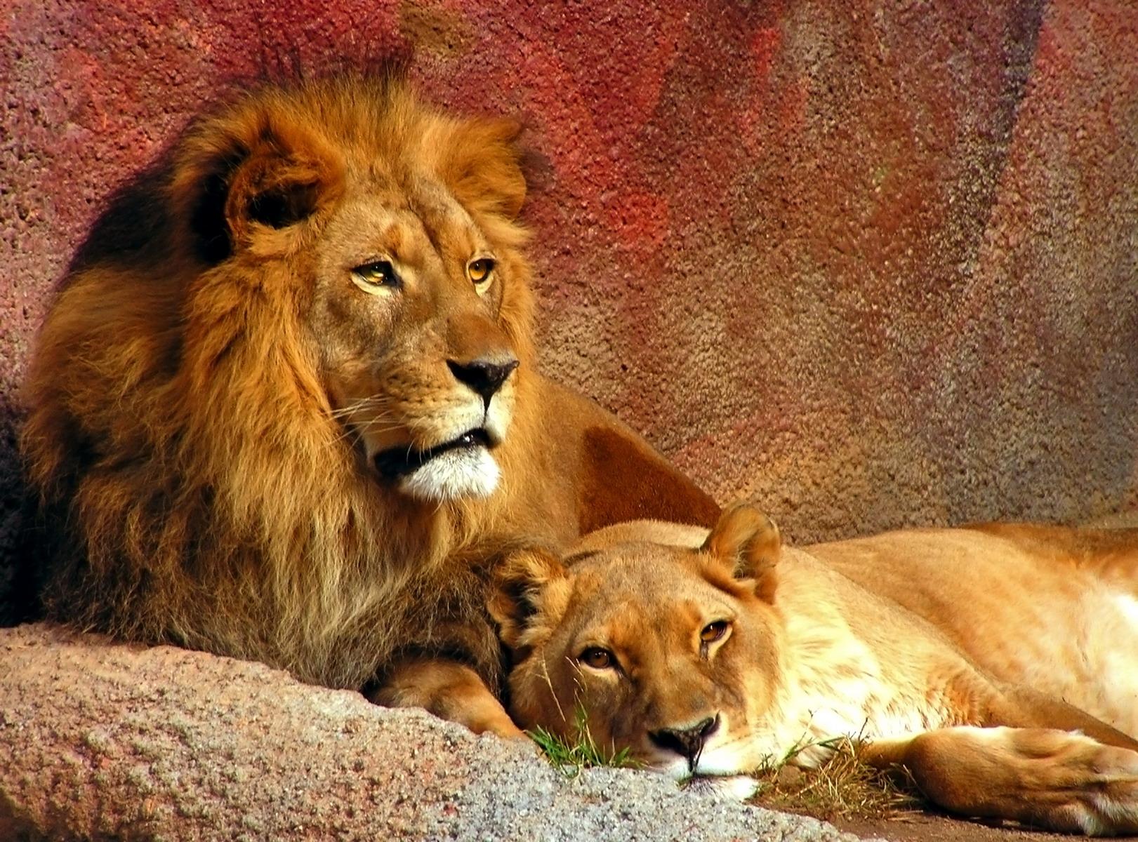 пара львов, лев и львицы, львы, скачать обои для рабочего стола, фото