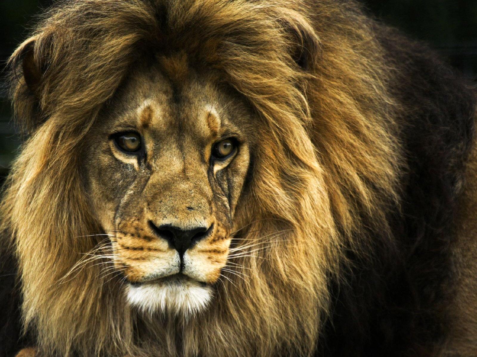 Крупный лев, фото, скачать бесплатно, обои на рабочий стол