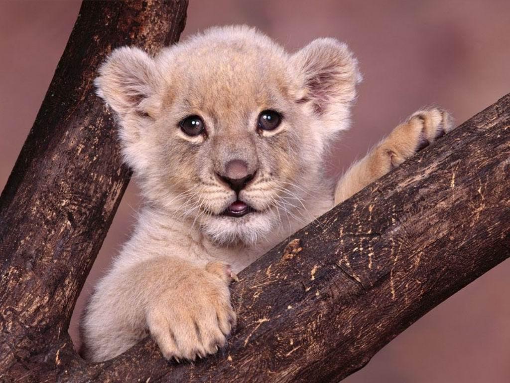 фото, львенок на дереве, скачать бесплатно, обои для рабочего стола