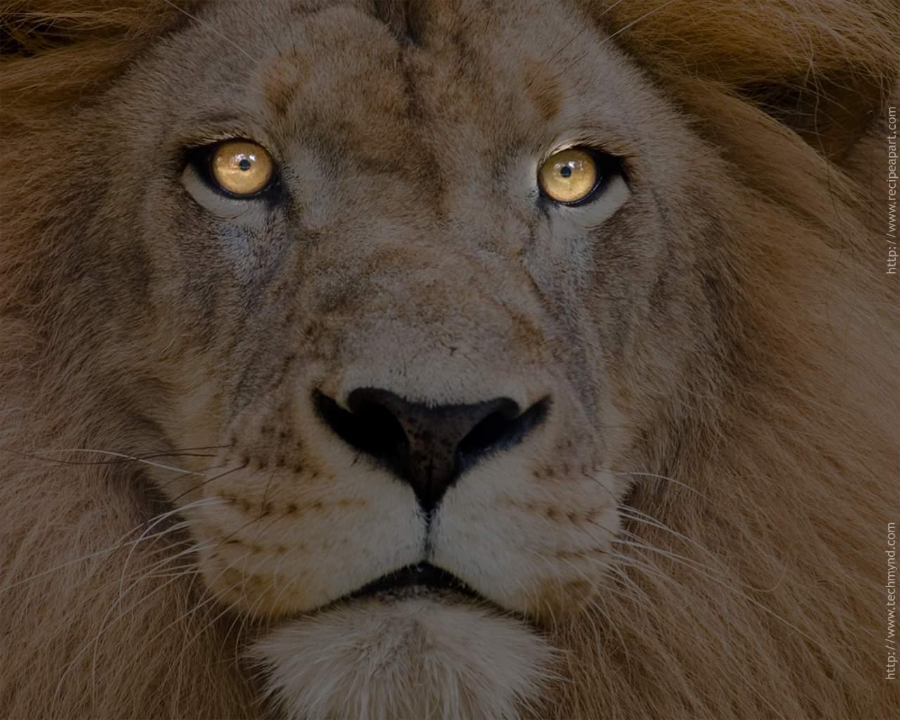 фото льва со светящимися глазами, скачать бесплатно, lion photo