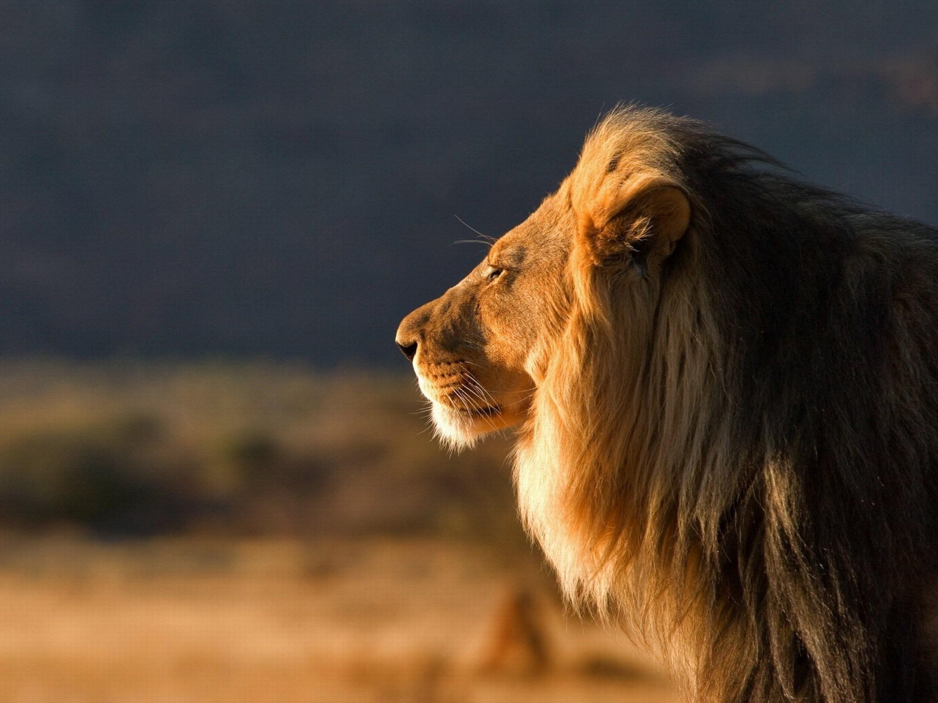 фото льва в лучах заходящего солнца, скачать фото, лев