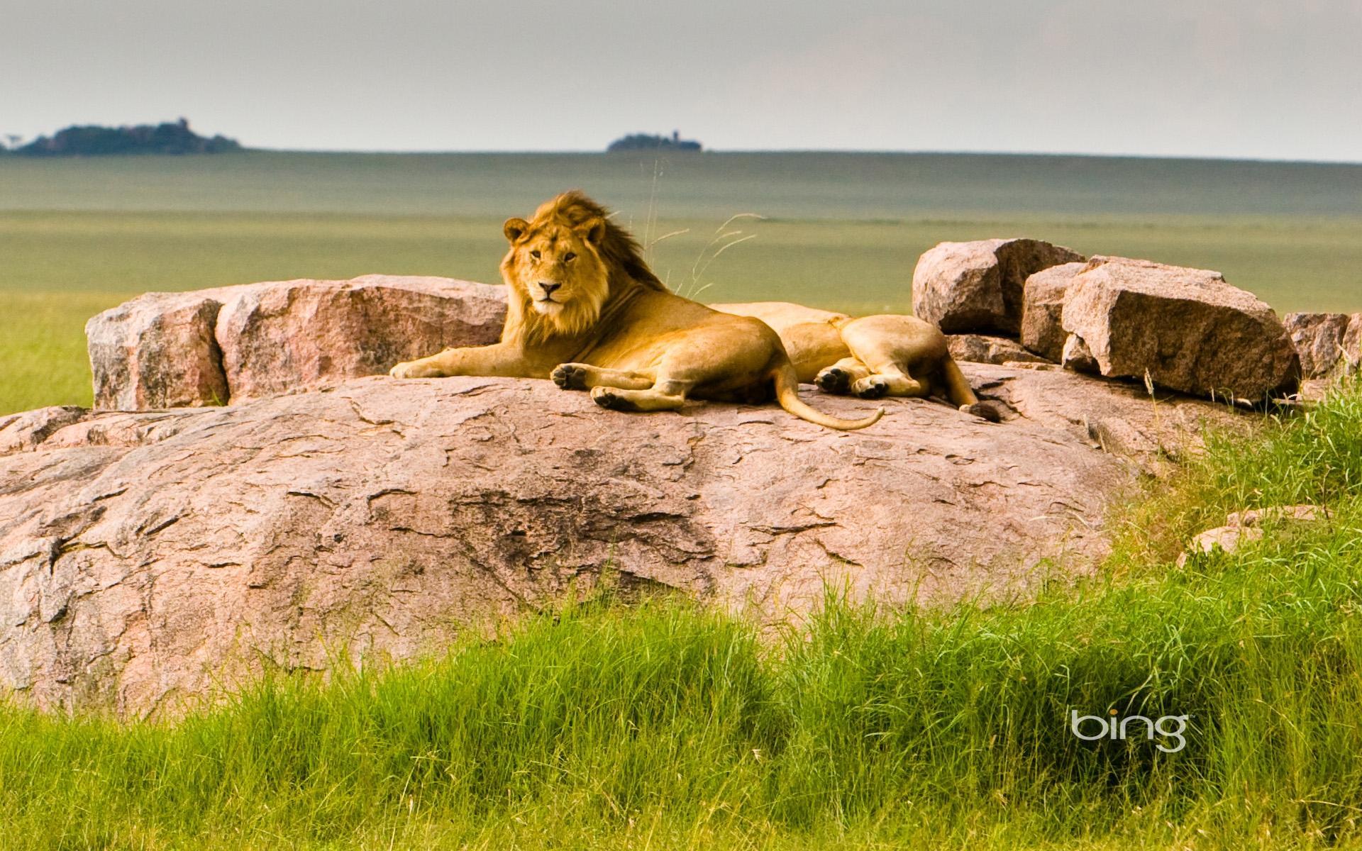 lion wallpaper, скачать фото, лев лежит на земле, обои для рабочего стола