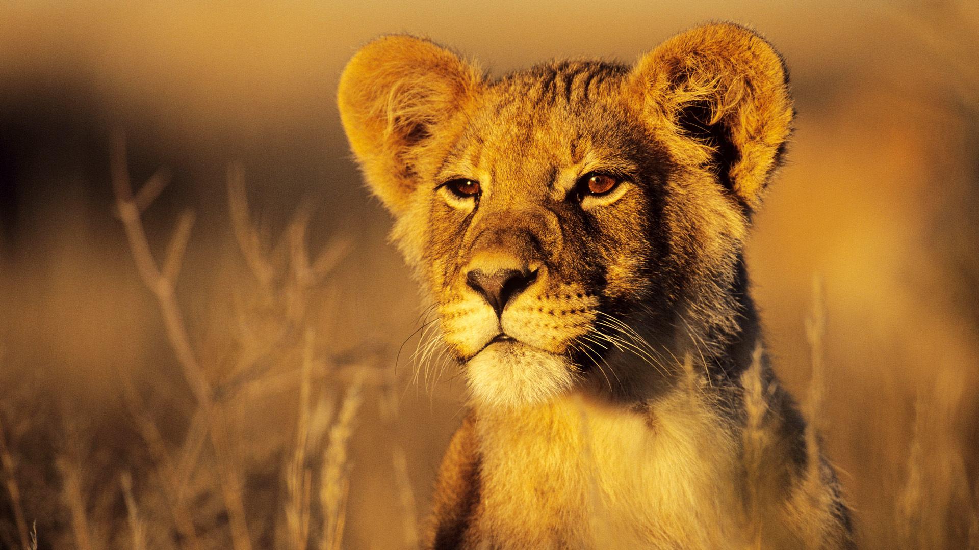 маленький львенок, скачать фото, lion child