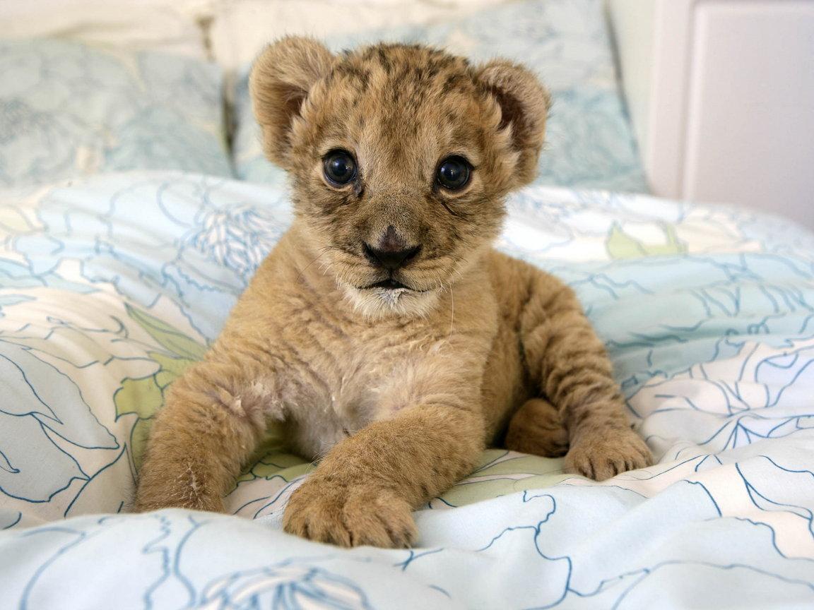 маленький львенок на кровати, милый, скачать фото