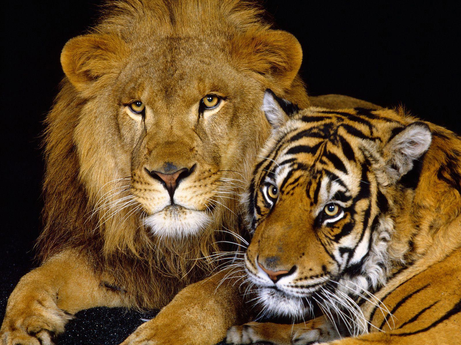 лев и тигр, фото, обои для рабочего стола