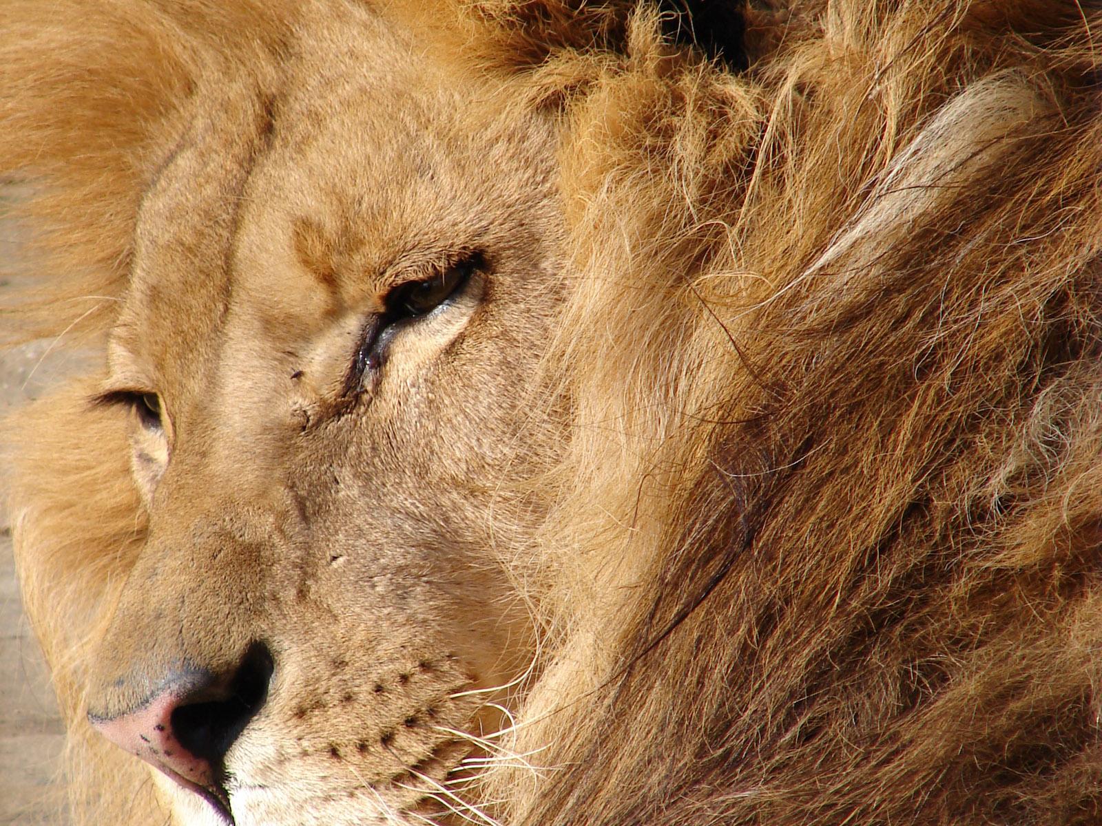 Лев, фото, обои для рабочего стола, львы, lion wallpaper, хищник