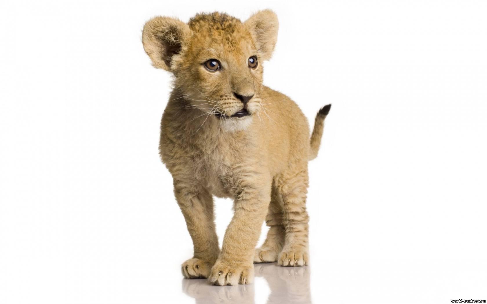 львенок, фото на белом фоне, львы, скачать