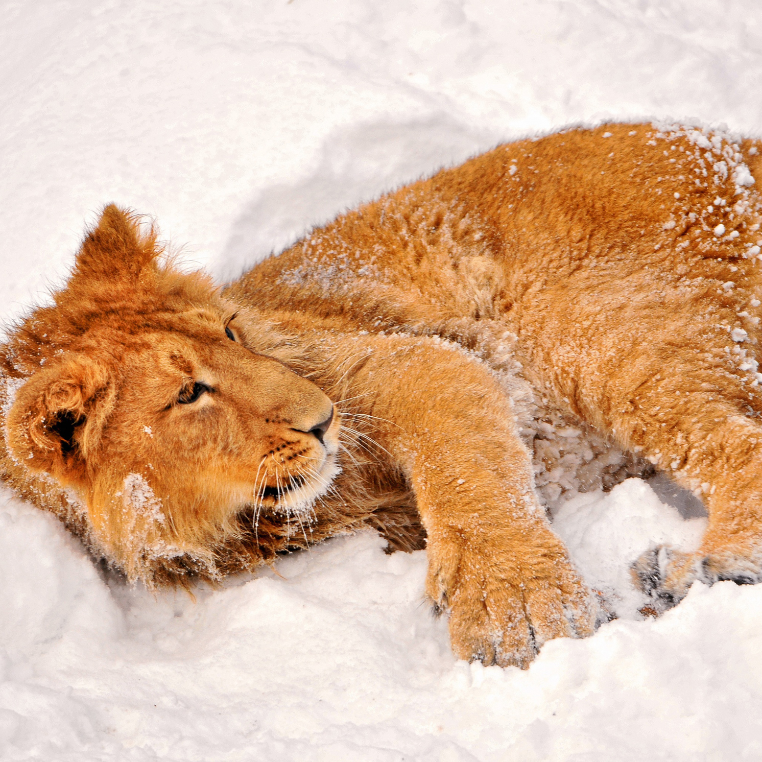 маленький рыжий львенок на снегу, скачать фото, обои для рабочего стола