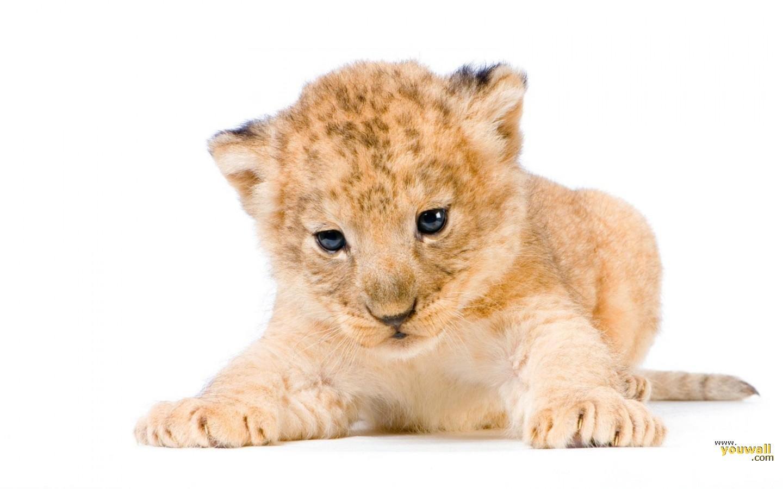 маленький милый львенок, фото, нп белом фоне, скачать, обои для рабочего стола