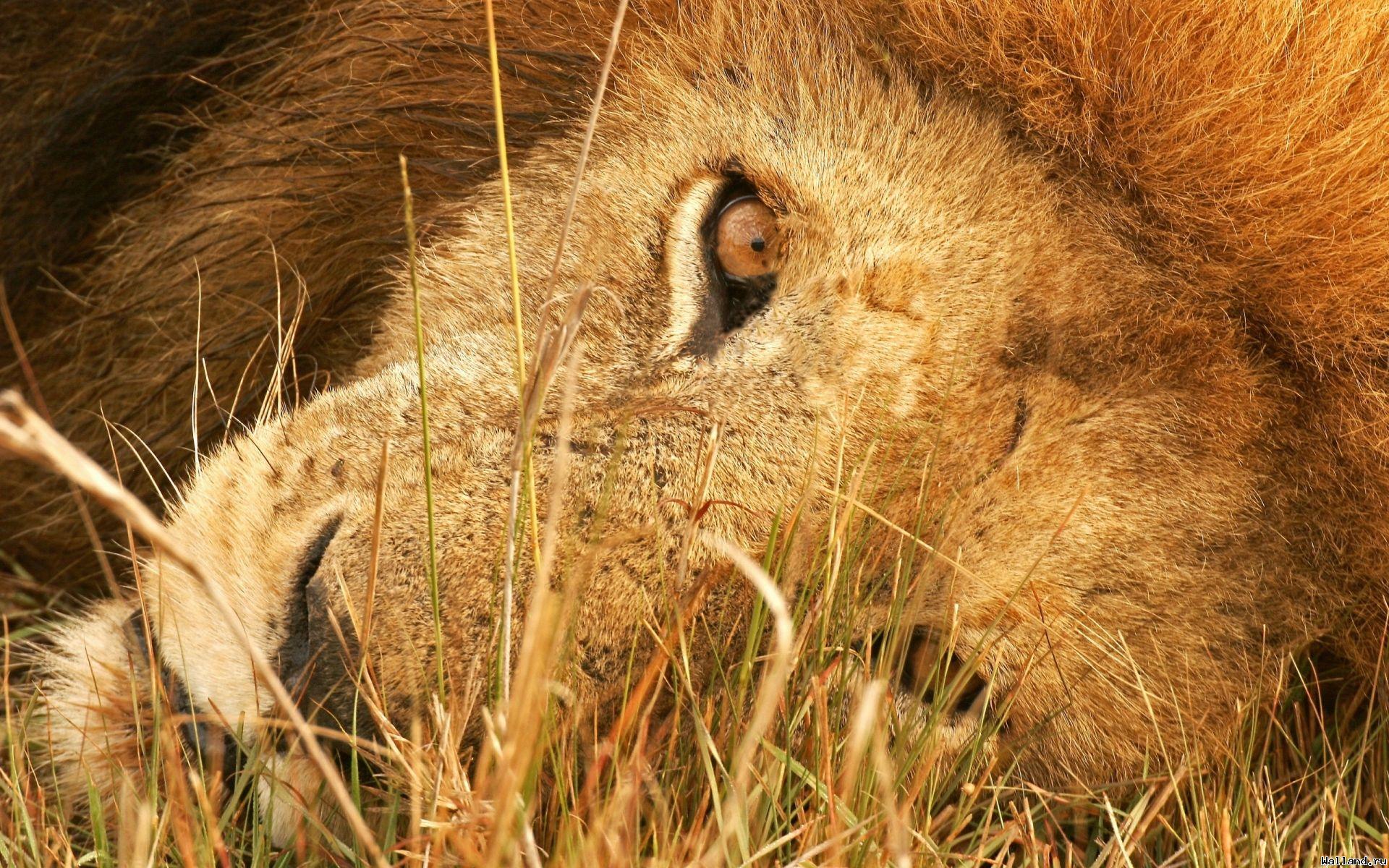 обои на рабочий стол, лев лежит в траве, скачать фото, lion wallpaper