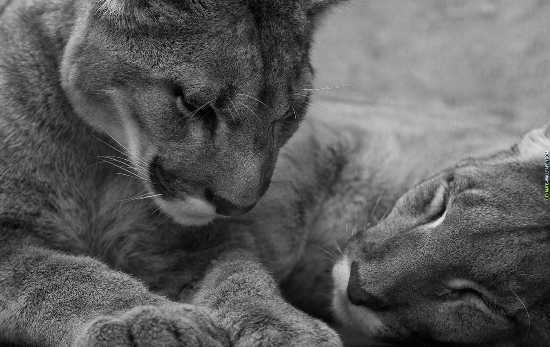 львы, черно-белое фото, скачать, фото львов