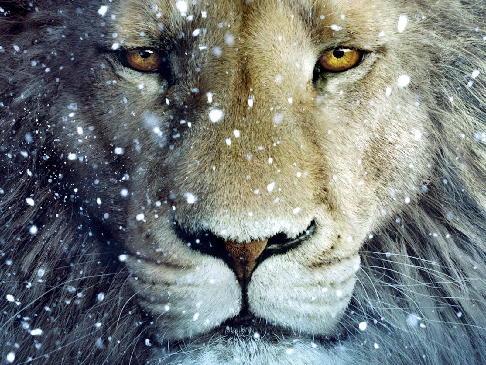 лев и снег, скачать фото, обои на рабочий стол