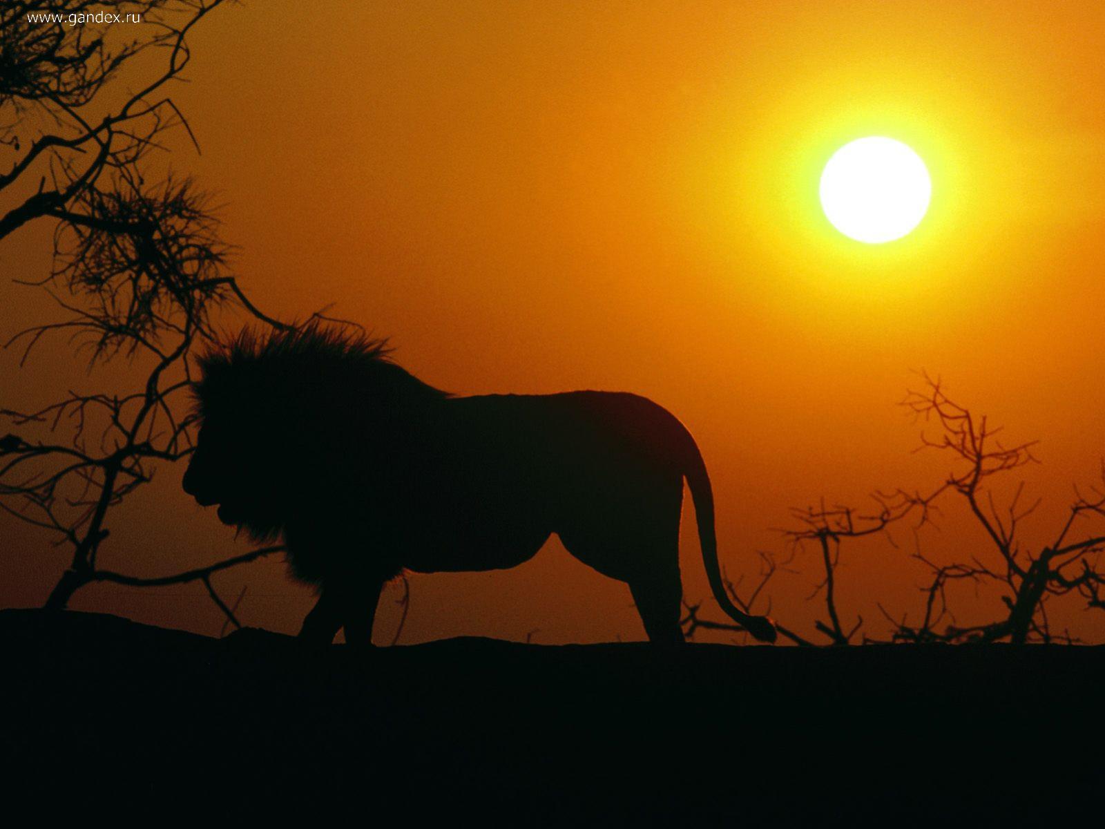 lion wallpaper, силуэт льва на фоне заката, скачать фото, обои для рабчоего стола