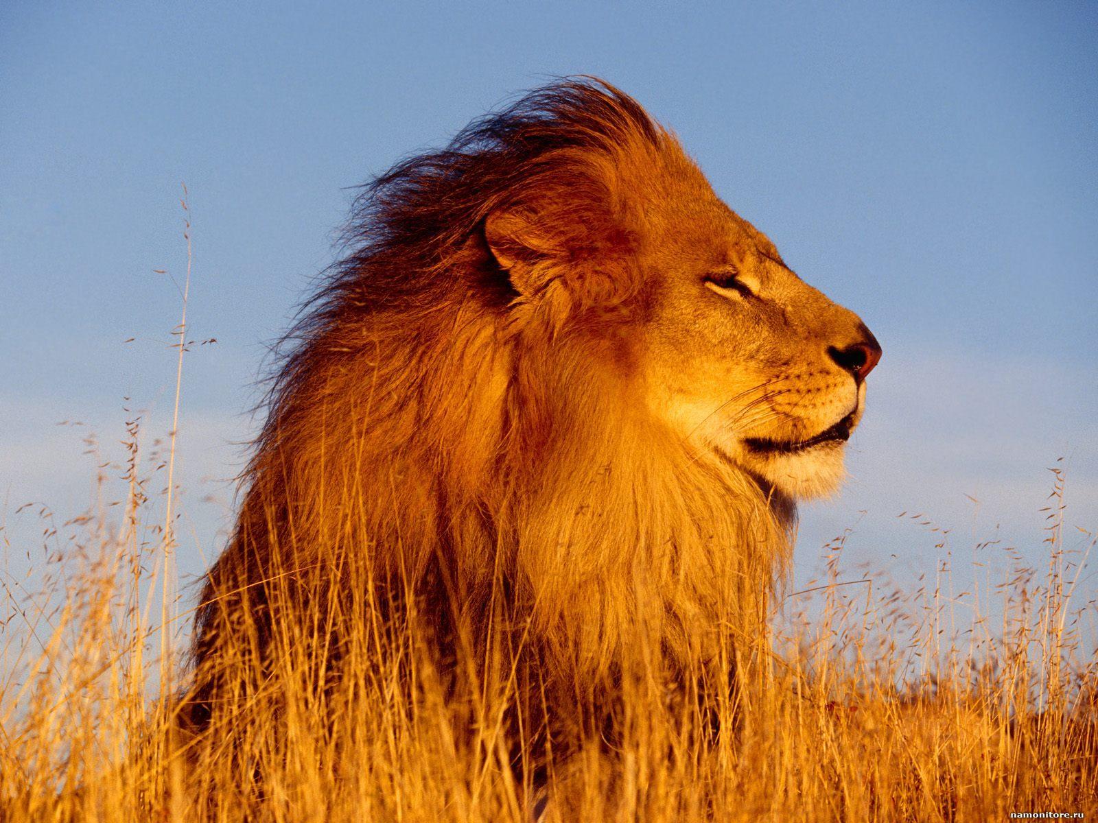 лев, фото львов, лежит в траве, на земле, скачать обои на рабочий стол