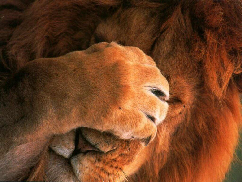 лев прикрыл лапой глаза, скачать фото, обои для рабочего стола
